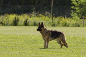 German Shepherd standing on lawn